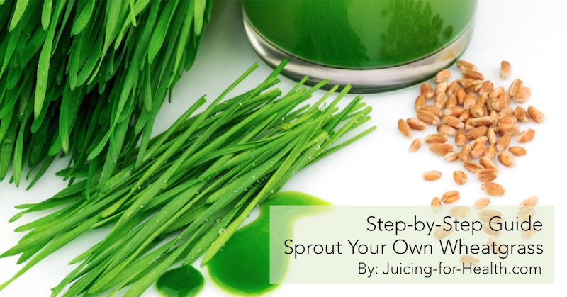 Step by step guide to growingsprouting your own wheatgrass step by step guide on how to grow your own wheatgrass at home for a daily shot of liquid sunshine the ultimate blood purifier solutioingenieria Gallery