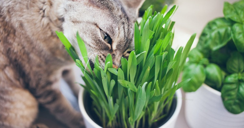 wheatgrass for cat