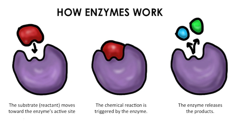 what are enzymes Enzymes are a type of protein present in all living things they are secreted by the source and are biological catalysts, increasing the rate of chemical reactions without undergoing any permanent change themselves.