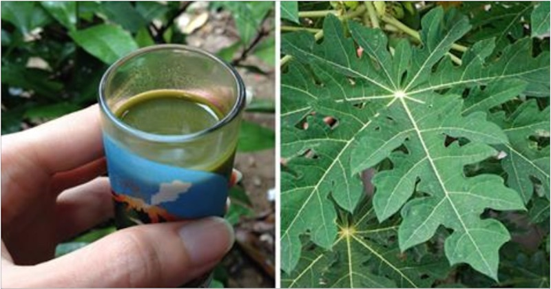 Papaya Juice Slow Juicer : Papaya leaf juice: How to drink papaya leaf juice to increase blood platelets.