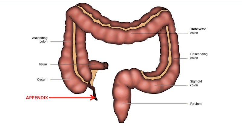 functions of the appendix