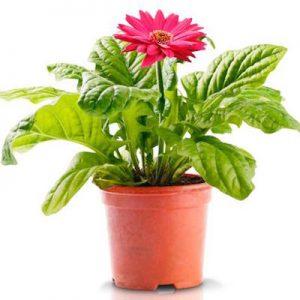 gerber-daisy-plant
