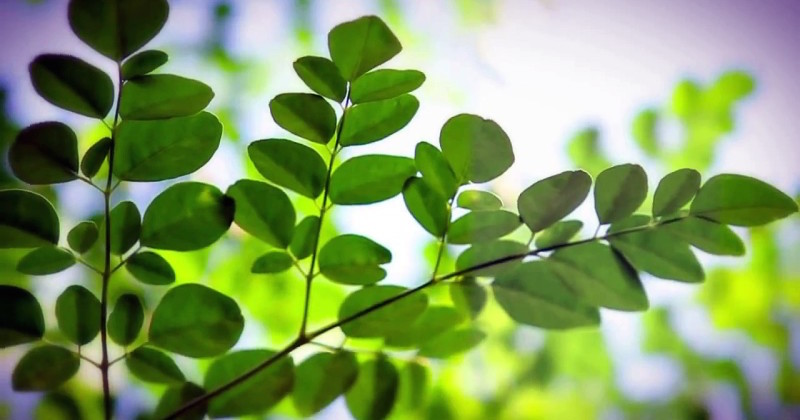 moringa oleifera kills cancer cells