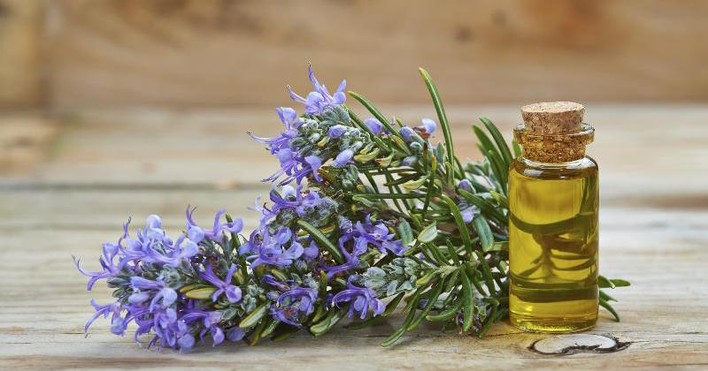 rosemary essential oil boosts memory retention