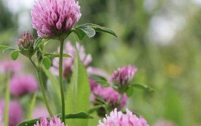 5 Plants You Thought Were Weeds Growing In Your Backyard May Be Cancer-Fighting Herbs!