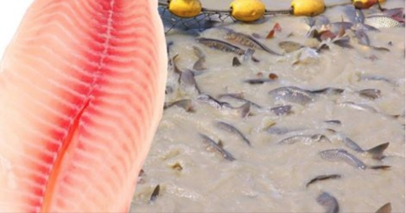 Farm bred tilapia why you must never eat these fish for Is tilapia a healthy fish