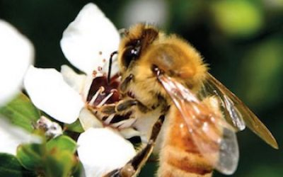 Manuka Honey Can Kill Every Kind Of Bacteria You Throw At It (Even The Superbugs!)