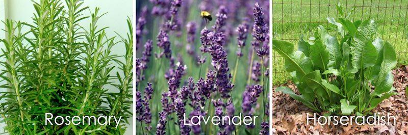 rosemary, lavender, horseradish