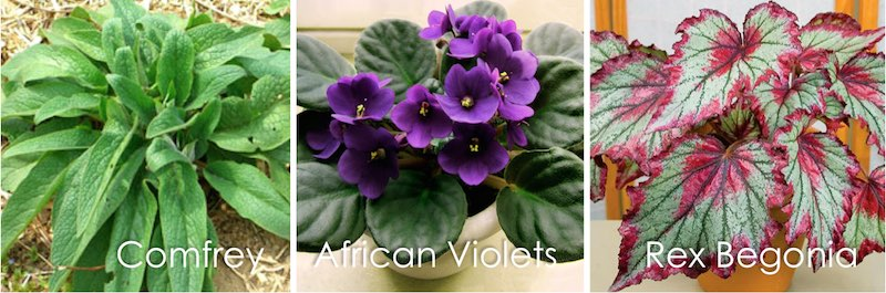 comfrey, african violets, rex begonia