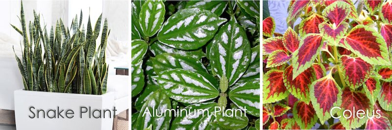 snake and aluminium plants, coleus