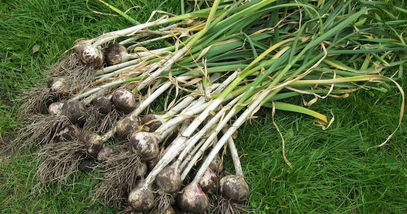 grow garlic at home