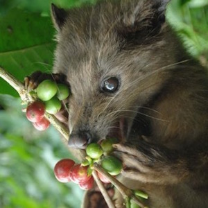 civet cat eating coffee berries