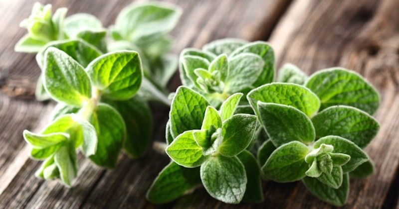 oregano oil natural antibiotic