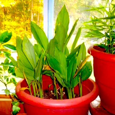 growing turmeric in a pot