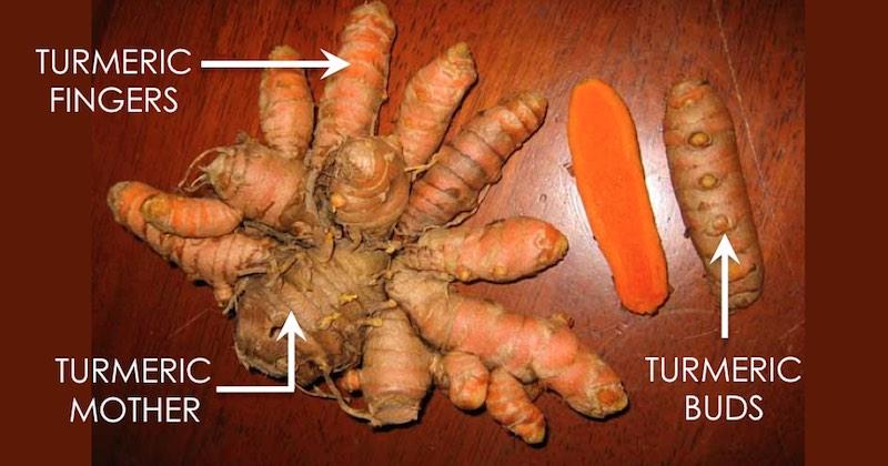 Turmeric plant parts