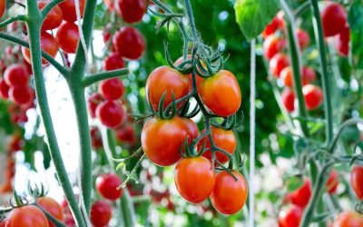 Complete Guide To Growing Your Own Endless Supply Of Tomatoes