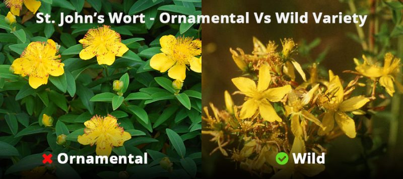 St. John's Wort plant - ornamental Vs wild varieties