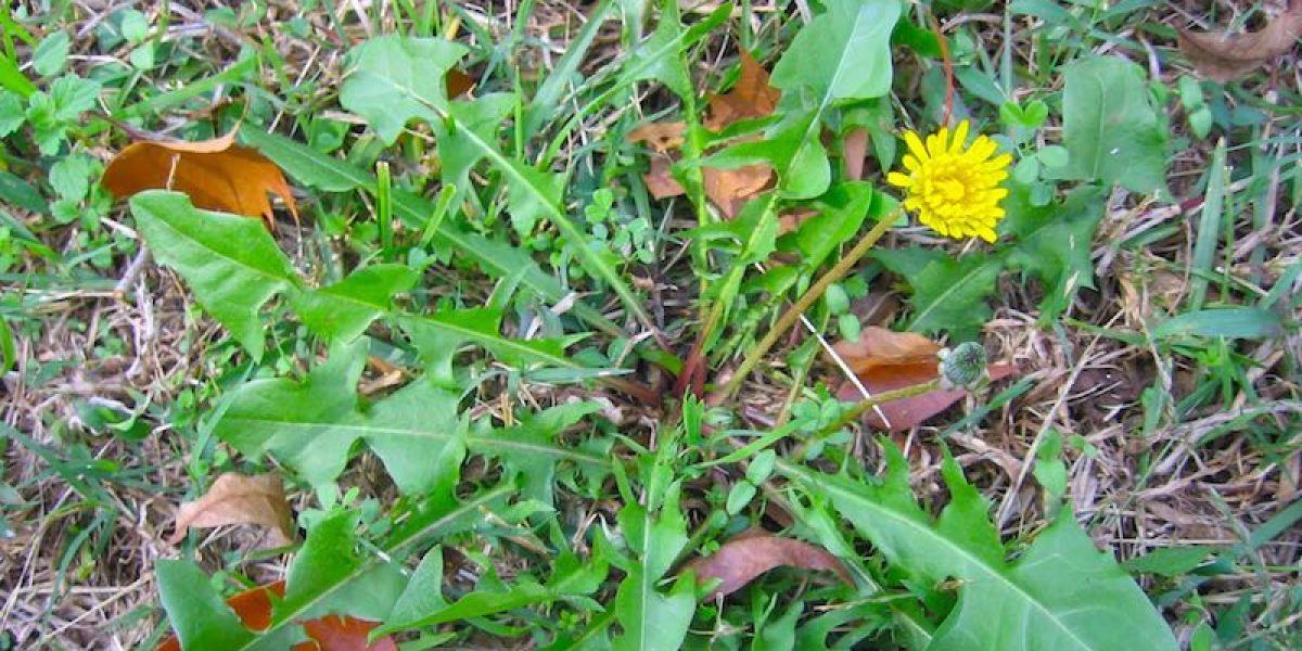 How To Use Dandelion Root To Detoxify Lungs, Liver And Fight Cancer