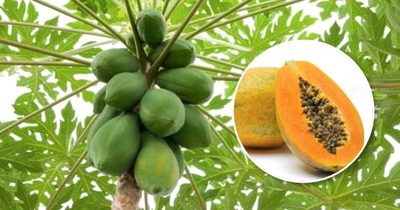 papaya for anti-cancer