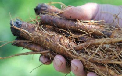 Burdock Root Is An Excellent Lymph Cleanser, Protects Brain And Liver Health