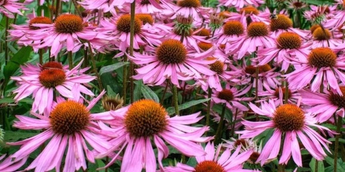 Echinacea Benefits From Beating A Cold, Fighting Infections, To Preventing Cancer