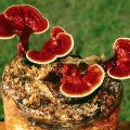 Miraculous Healing Properties Of Reishi Mushroom (Lingzhi) That Is Treasured Like Gold