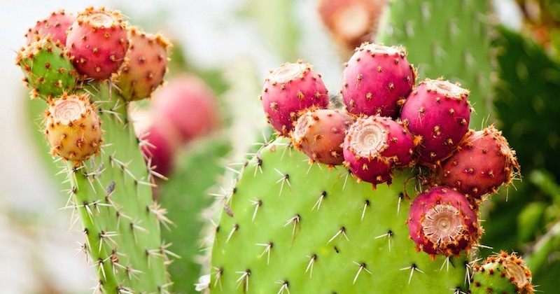 prickly pear plant