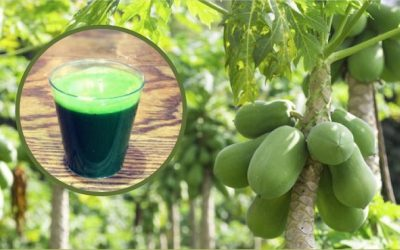 Increase Blood Platelet Count, Kill Cancer Cells, Reverse Diabetes With Papaya Leaf Juice